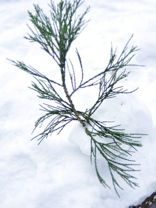 pine branch in snow