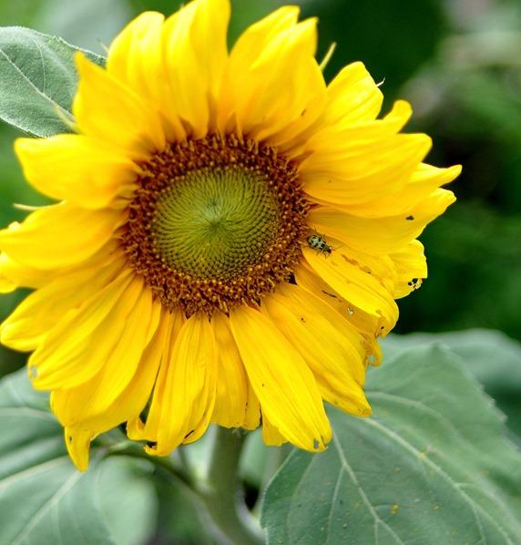 sunflower and ladybug