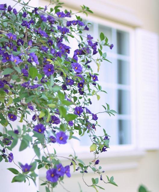 flowering purple vine