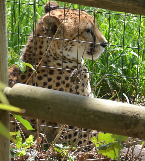 cheetah body