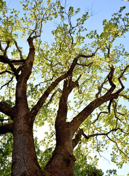wine country oak tree