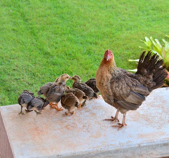 resident chicken family