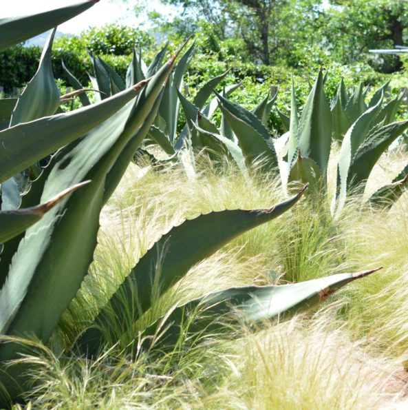 agave and grasses
