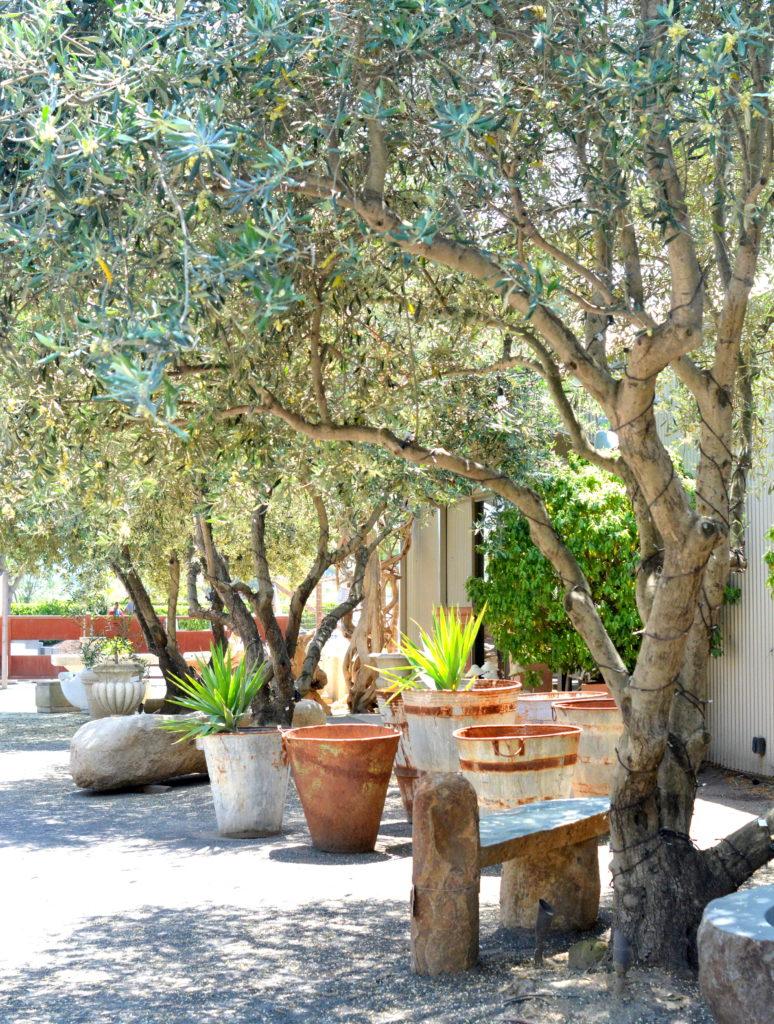 cornerstone gardens olive trees