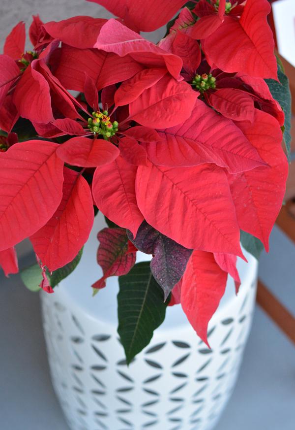 merry-poinsettia-plant