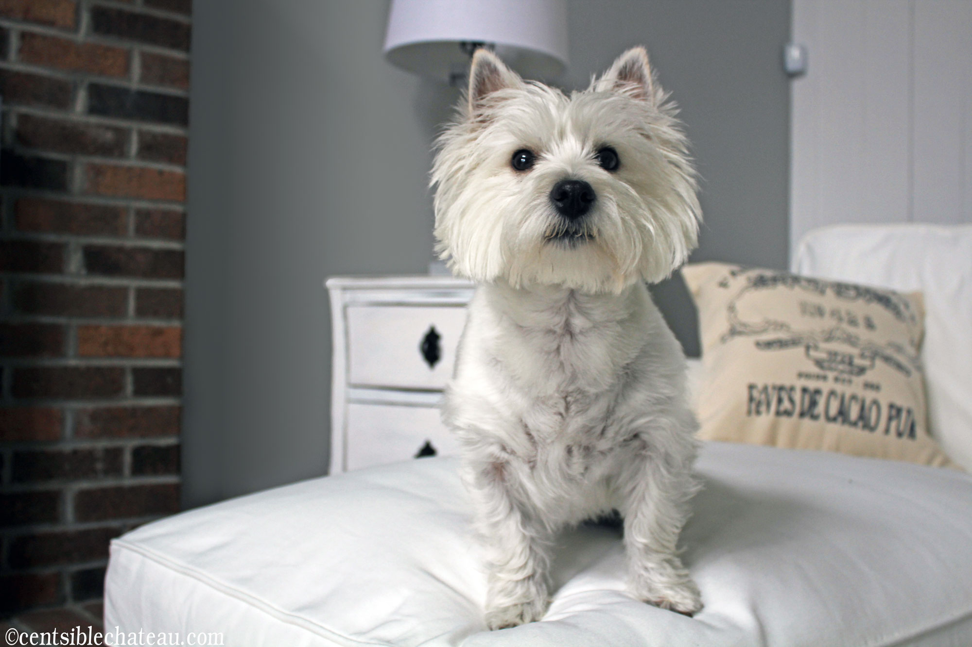 My cute puppy really loves the white ikea couch, but that's part of the problem! CentsibleChateau.com
