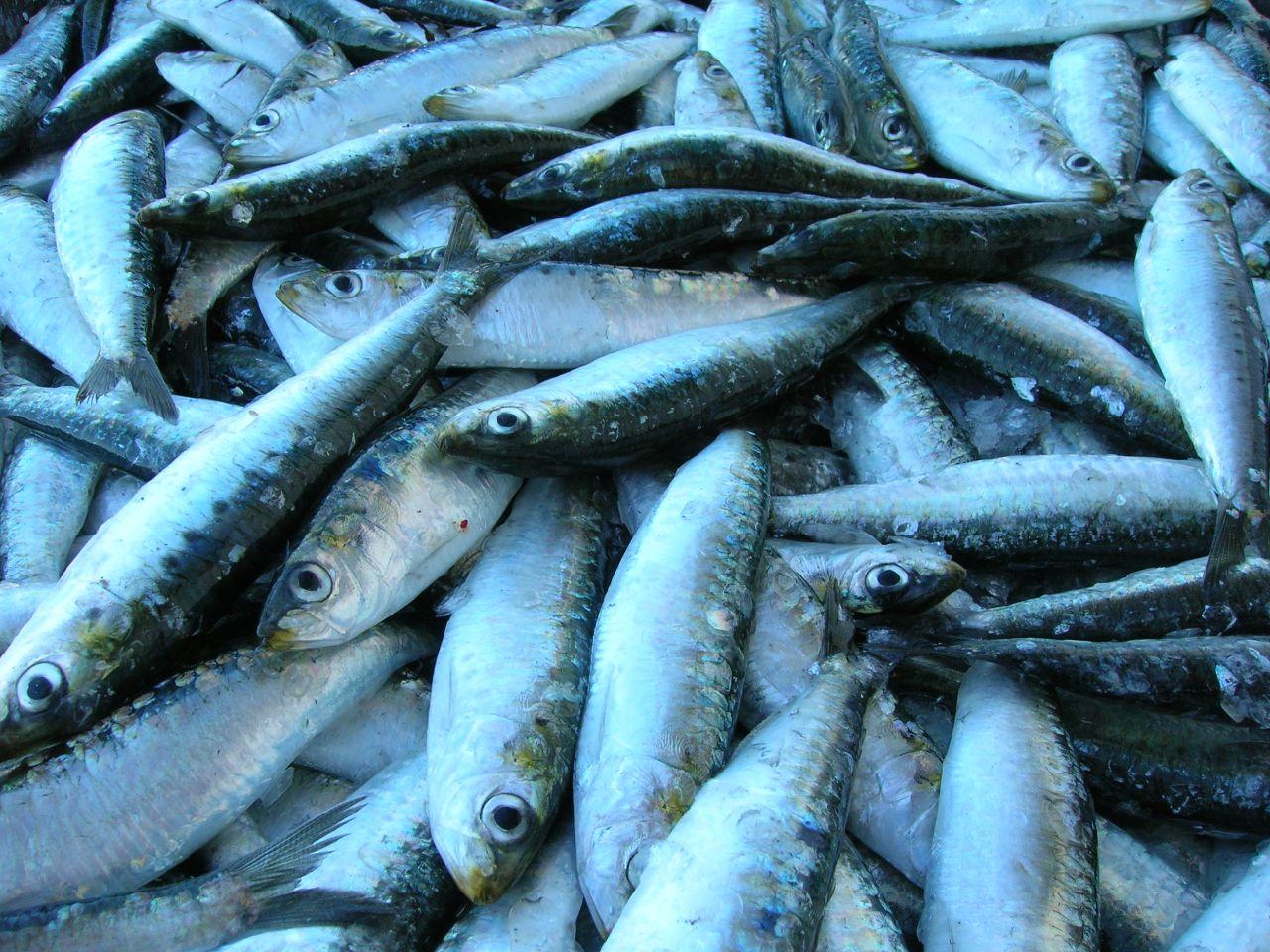 Crece un 41% el cupo anual de sardina