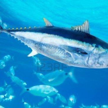 Capturas de atún cayeron 12 %