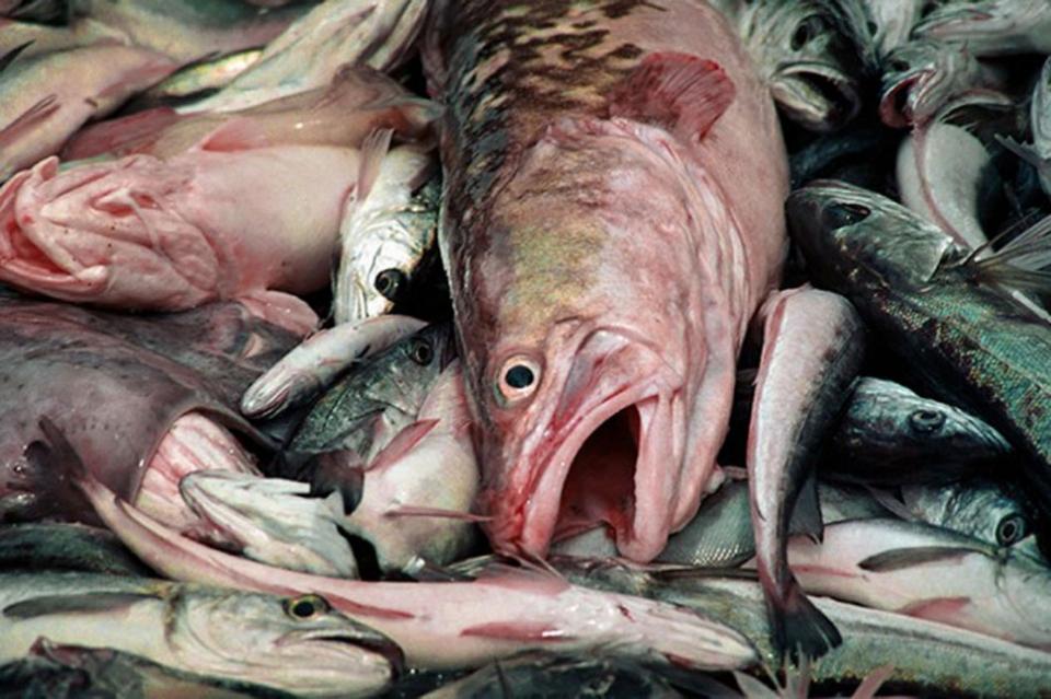 Rige el nuevo esquema para la pesca de abadejo