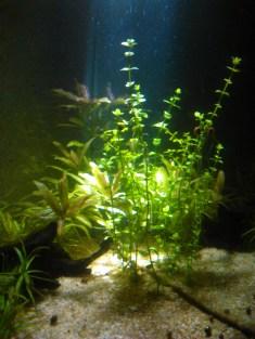 Lindernia rotundifolia ó Bacopa sp (?)