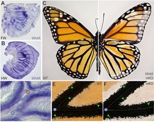 Cambio de coloración en mariposa, imagen por Kavli prize