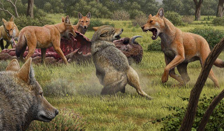 Descubren que el legendario Lobo Temible no eran realmente un Lobo, según estudios genéticos
