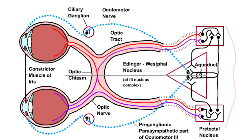 canine eye diagram right french telephone socket wiring cerebrovortex | concussion research network page 6