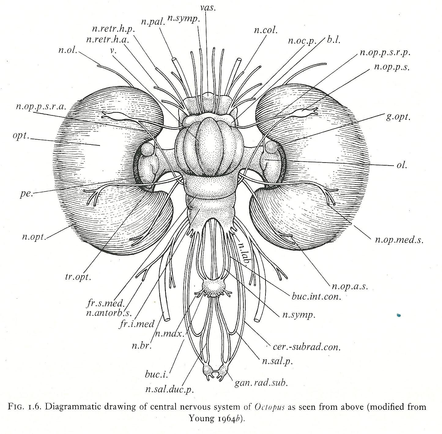 giant octopus diagram coleman pop up camper wiring concussions cerebrovortex