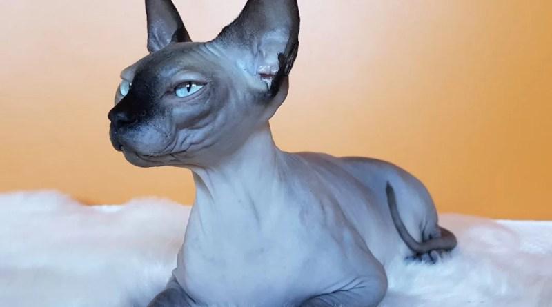 mačka Camilla, sfinks mačka, sfinks, mačka bez dlaka