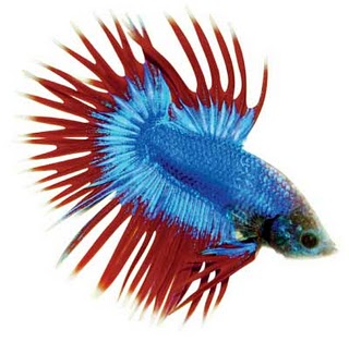 Jenis  jenis Ikan Laga  Cerita Kita