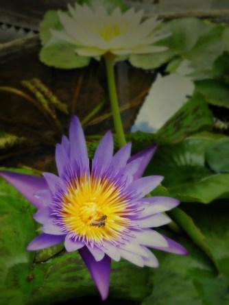 The original lotus