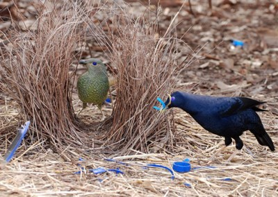 decoration_bowerbird_1_600