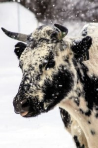 Firefly Farms Cattle