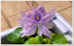 ホテイソウの花(拡大)