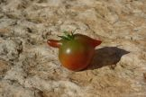 strange-black-tomato-in-cervano