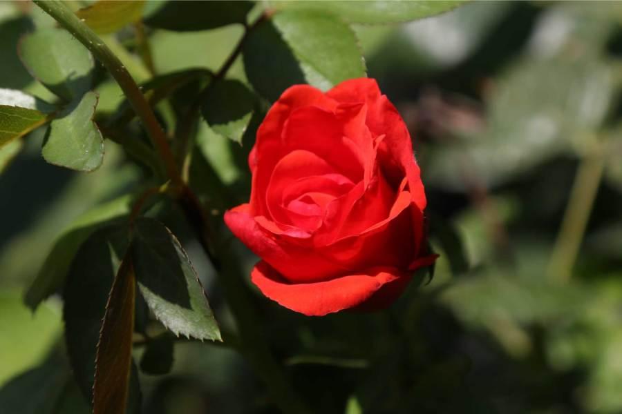 rosa-cinco-mayo-adriana-spazzoli-mapei-giardino