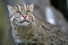 Fishing_Cat_(Prionailurus_viverrinus)