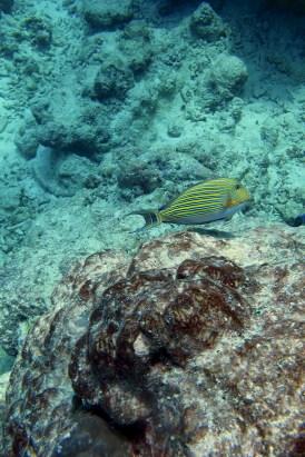 AnneHTheo. Acanthurus lineatus (Lined Surgeronfish). 2011. Lakshadweep.