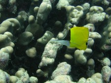 Anne H. Theo. Long nose butterfly fish. 2011. Lakshadweep.