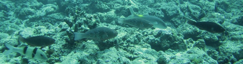 Anne H. Theo. Mixed species foraging group of fish. 2011. Lakshadweep.