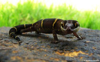Shreekant Deodhar. Geckoella deckanensis. 2005. Aamby Valley, Maharashtra.