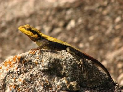 Shreekant Deodhar. Psammophilus dorsalis breeding male. 2008. Rishi Valley.