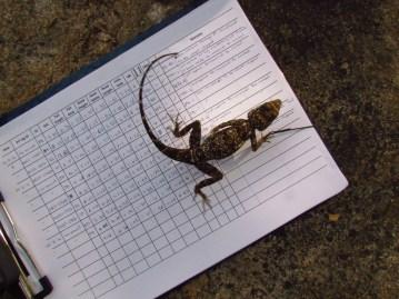 Shreekant Deodhar. Psammophilus female datasheet. 2010. Rishi Valley.