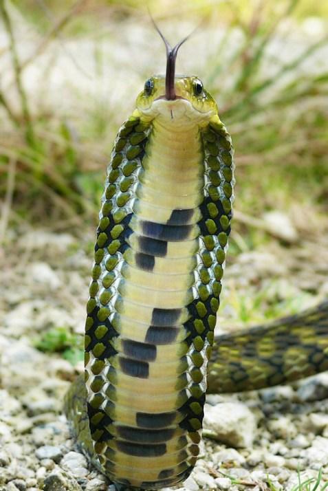 Ashok Kumar Mallik. False cobra. 2009. Eaglenest WLS.