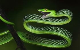 Ashok Kumar Mallik. Common vine snake. 2010. Kudremukh National Park.