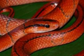 Ashok Kumar Mallik. Red bamboo snake. 2011. Kane, Arunachal.
