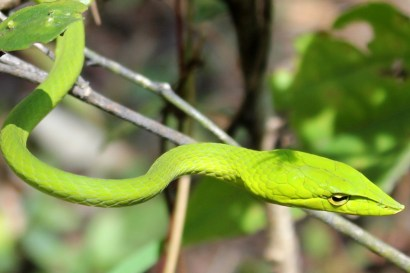 Sandeep Pulla. Vine snake. 2012. Nilgiris.