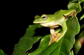 Saunak Pal. Malabar Flying Frog (Rhacophorus malabaricus). 2010. Wayanad, Kerala.