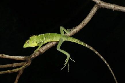 Saunak Pal. Common Green Forest Lizard (Calotes calotes). 2011. Anamalai hills, TN