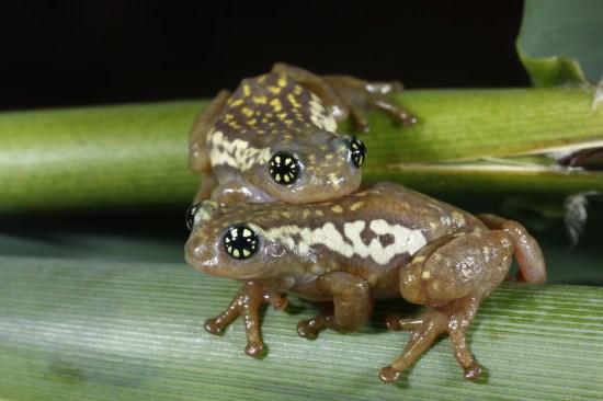 Saunak Pal. Ochlandrae Reed Frog (Raorchestes ochlandrae). 2011. Coorg, Karnataka.