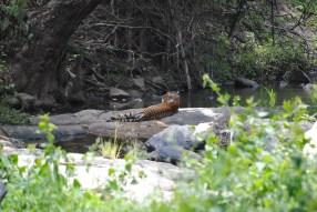 Nachiketh SR. MTR. Tiger. 2012.