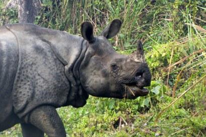 Sanjeeta Sharma Pokharel. One-horned Rhino. 2011. Chitwan National Park, Nepal.