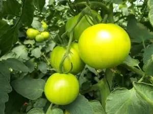 tomatoes-941667_960_720