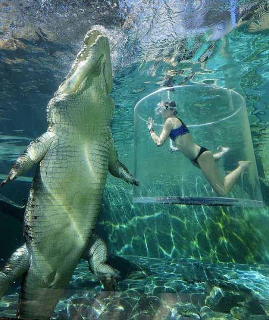 crocodil de apa sarata