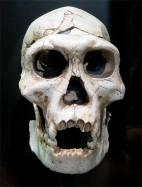 Cráneo de homínido