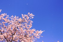 Very special, as it was my first time to see cherry blossoms.