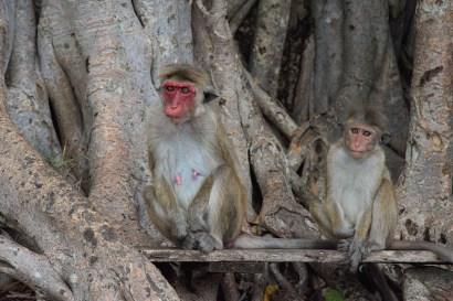 Opice v Dambulle