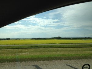 En Alberta: champs de moutarde qui sert à faire la moutarde de Dijon