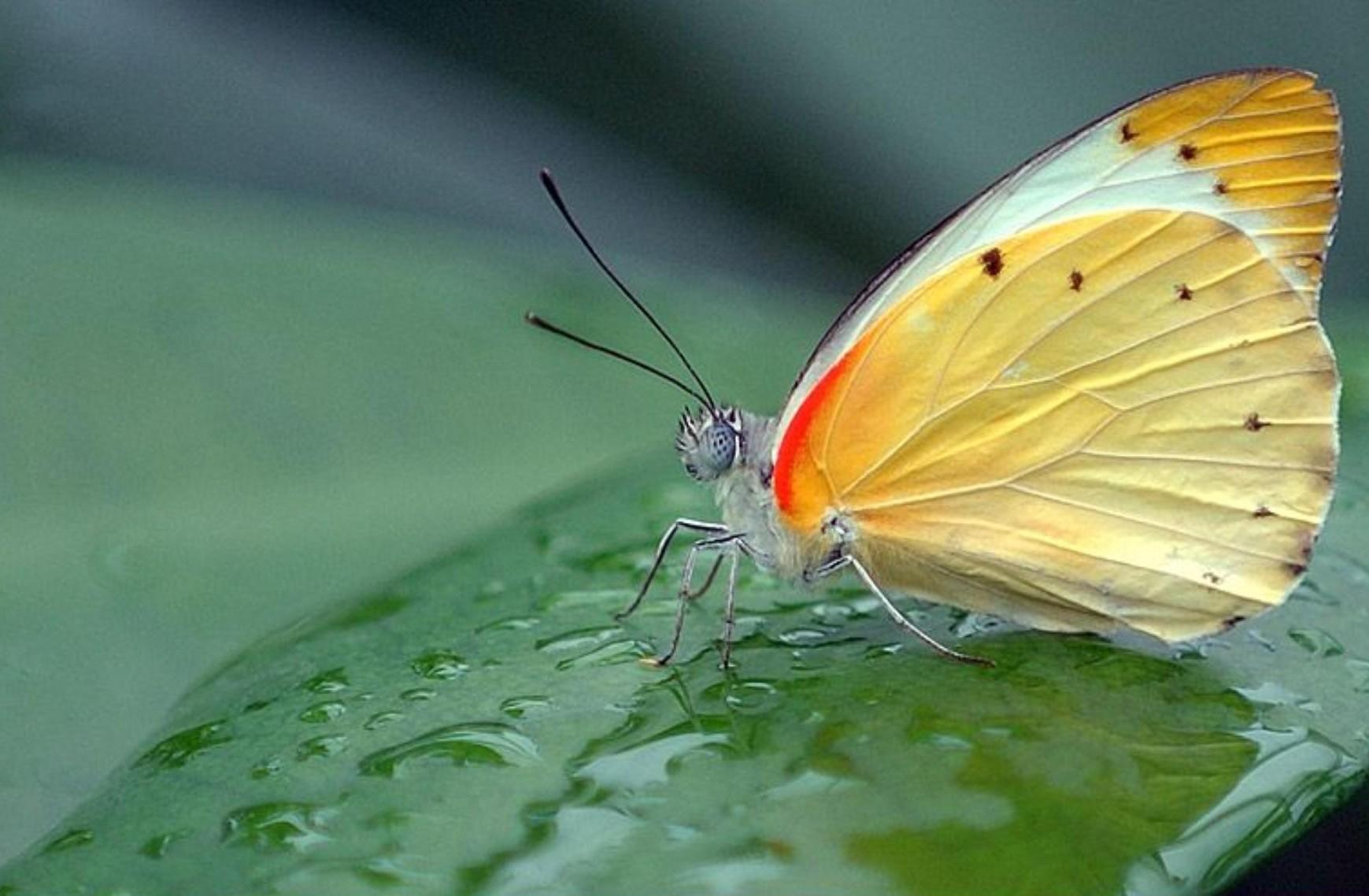 Papillon en jaune et rouge