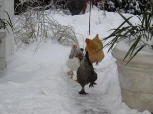 hens-in-snow